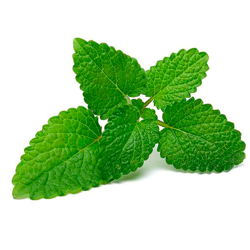 Fresh Organic Lemon Balm Herbs