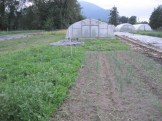 Shallots after weeding (on right) - yup, we were a little busy so we get behind on some stuff.
