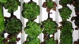 12589_Even-more-lettuce-in-tower.jpg
