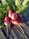 KT Farms radish