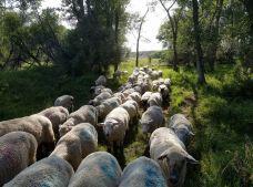 sheep move through trees