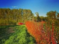farm pic dogwood