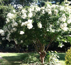 crepe myrtle in full bloom