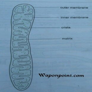 structure of a mitochondrion