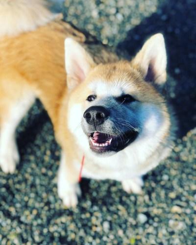 chien à l'éducation Hatchi