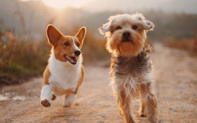 Bien présenter des chiens