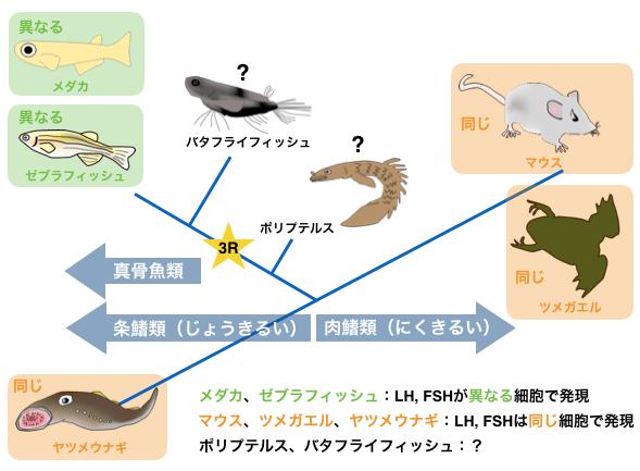 古代魚「ポリプテルス」で遺伝子と細胞の進化の謎に迫る ...