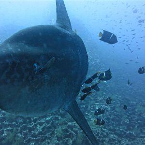 mola mola (sun fish) at Gordon Rocks
