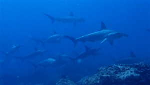 diving with sharks galapagos