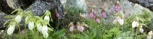 Lady slippers at Acadia National Park.
