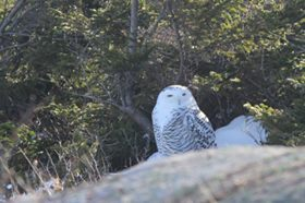 snowy owls in acadia national park