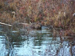 beaver in acadia national park