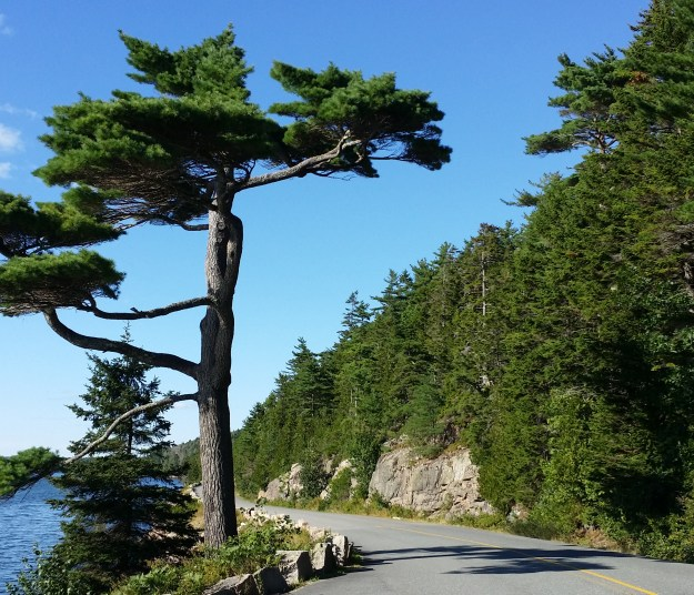 mount desert island marathon tree
