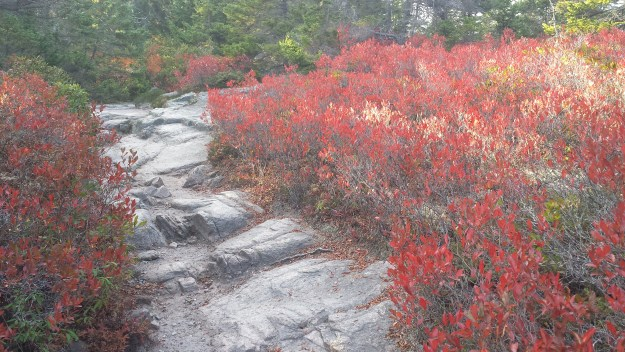 Red blueberry bushes along the Ship Harbor Trail in autumn in Acadia National Park
