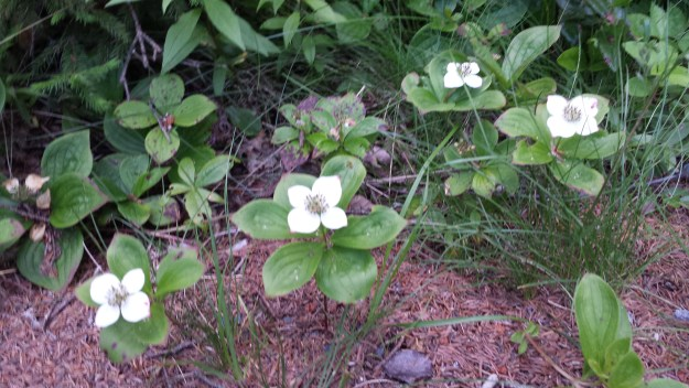 Bunchberry in Acadia National Park.