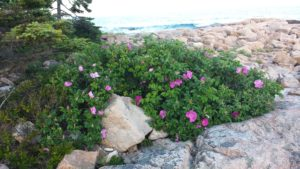 Rosa rugosa in bloom along the Ship Harbor Trail in Acadia National Park.