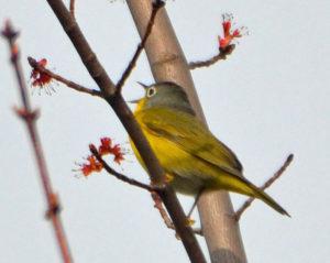 acadia birds