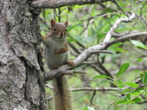 Red Squirrel at Acadia National Park