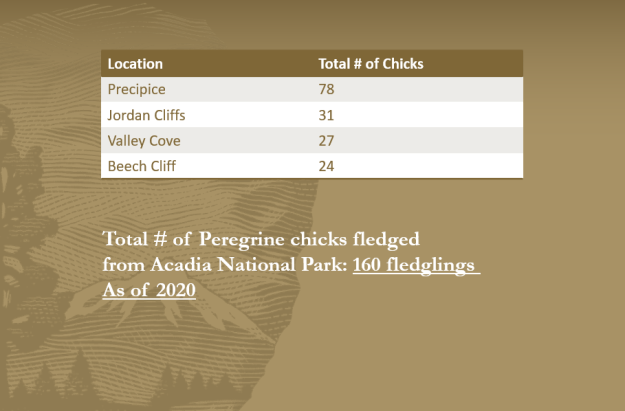 Total number of falcon chicks that fledged at the four nest sites in Acadia National Park