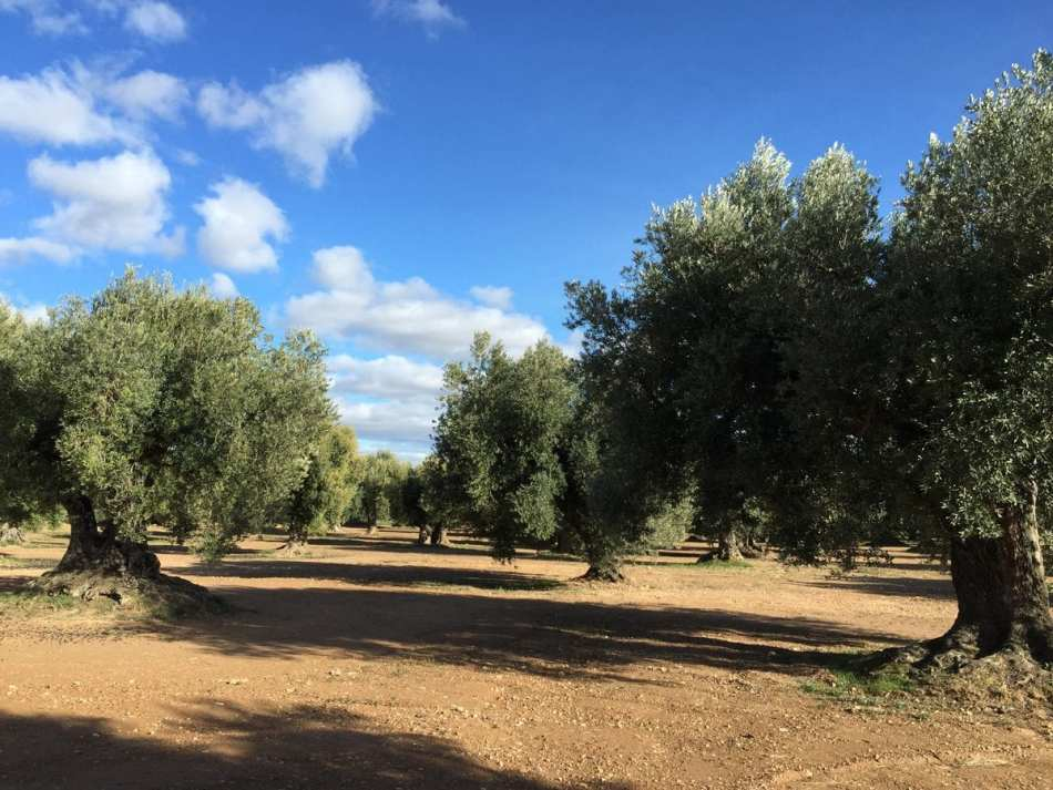 Olivos centenarios que producen el Aceite de Calanda. Denominación de origen