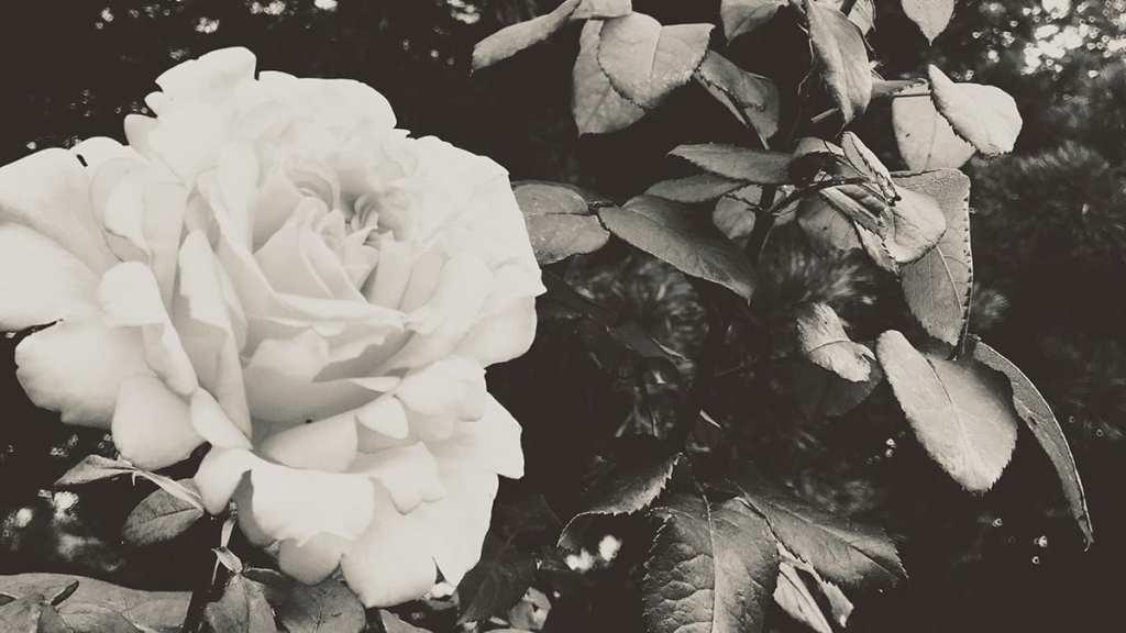 Rosas Editorial Amarante