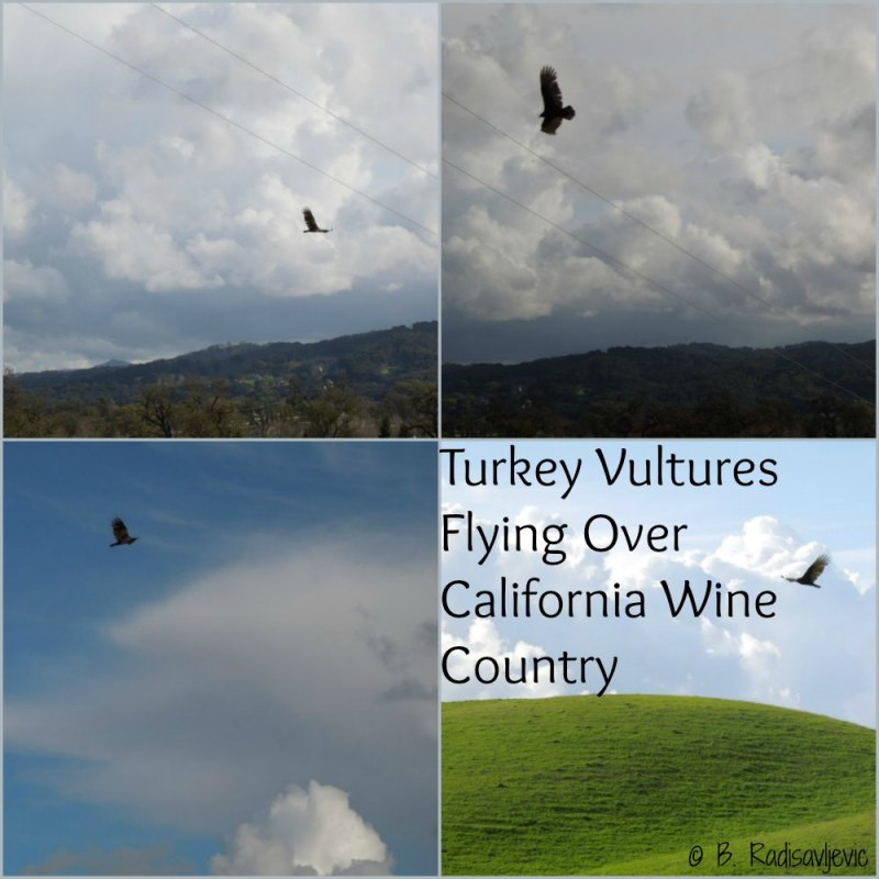 Turkey Vultures Love California