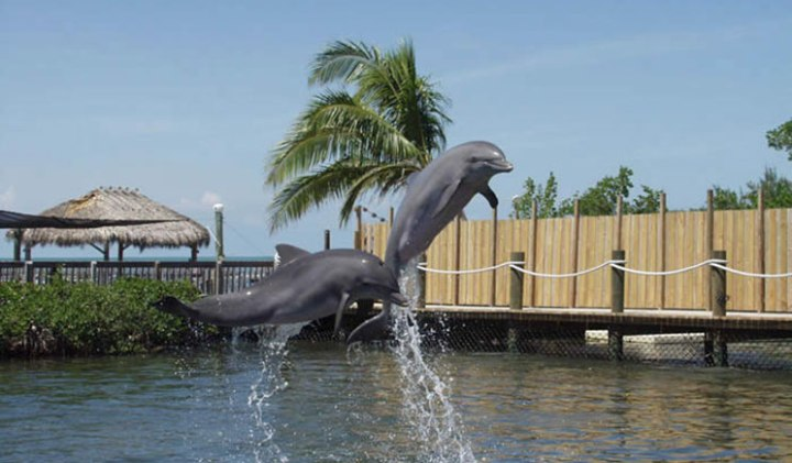 Golfinhos brincando no Dolphin Research Center