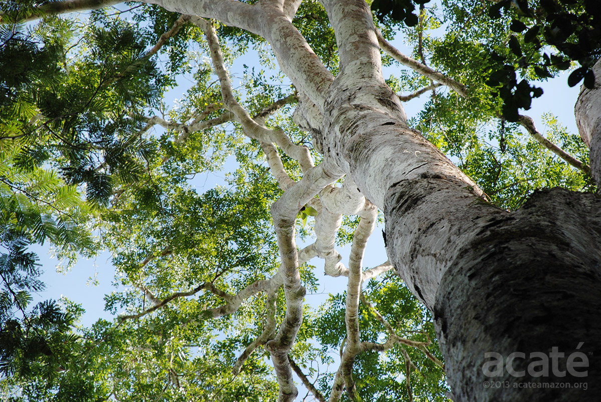 Copaiba Oil And Resin Sustainable Harvest Rainforest