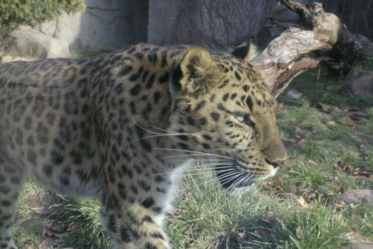 Amur Leopard – For A!