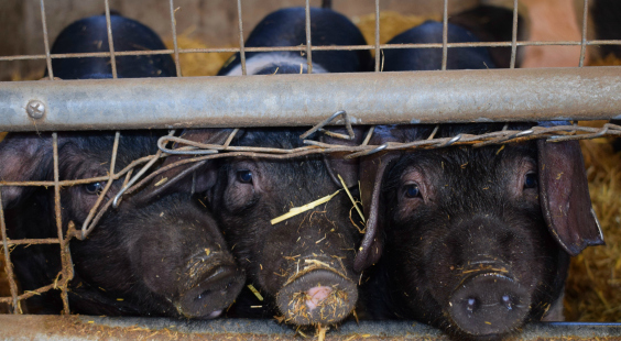 pigs are                                                     exploited at fairs