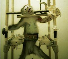 Monkey used for                                           experimentation