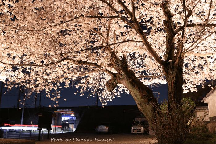 【Photo Album】夜桜 in 安福寺@京都府木津川市 | Acca's Webiste