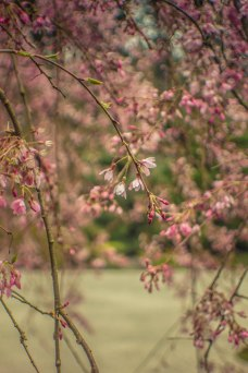 cherry blossoms-1
