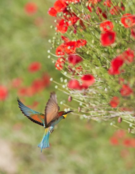 Bee eater 02