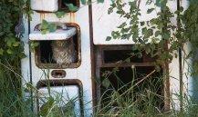 Little owl 05