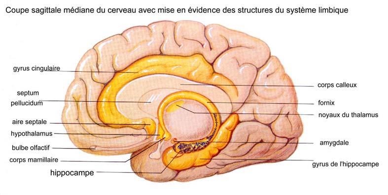 Coupe sagittale médiane du cerveau avec mise en évidence des structures du système limbique - Thalamus et hypothalamus - tpemotions.e-monsite.com