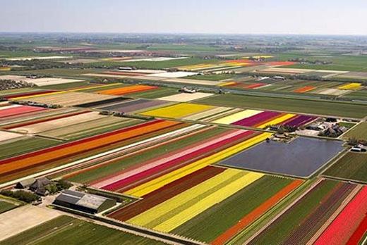tulips335-3