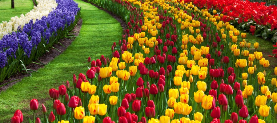 tulips the netherlands