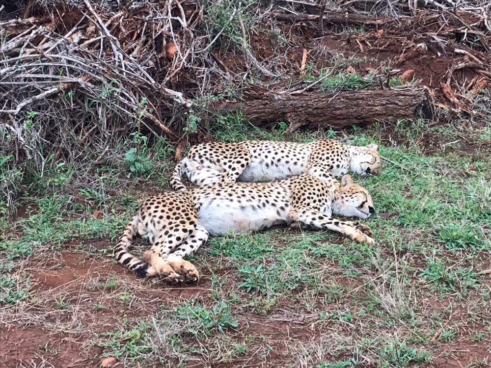 cheetah south africa