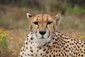 cheetah africa