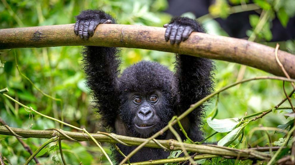 Gorilla safari Uganda
