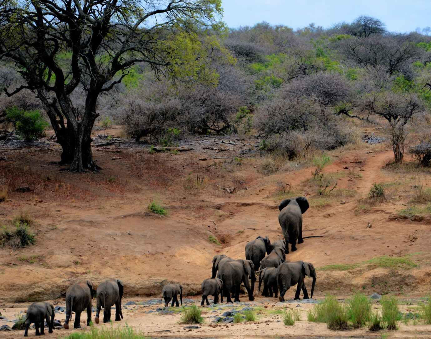 herd of elephants africa