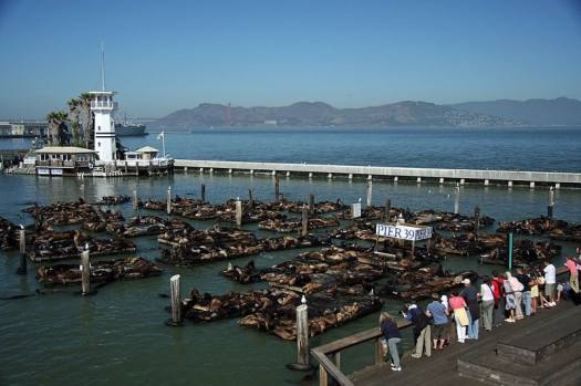 San-Francisco-Pier-39-sea-lions-Ronnie-MacDonald