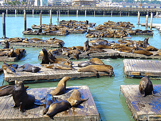 San Francisco Sea Lions Pier 39 Photo Credit Cookaa