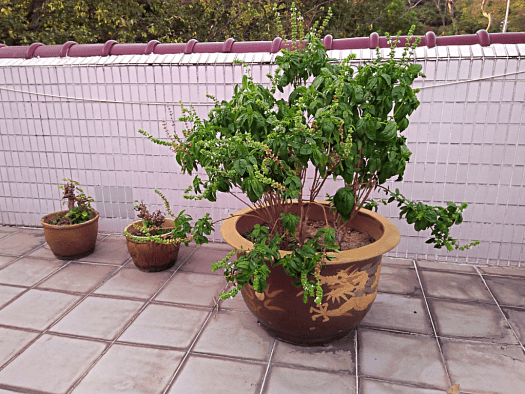Roof herbs (1) (4)