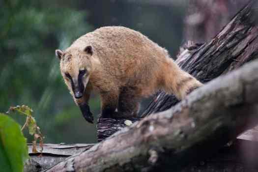 Usa-oakland-zoo-nasua-nasua-credit-derrick-coetzee