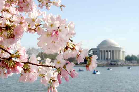 cherry-blossoms-in-front-of-jefferson-memorial-in-washington-dc