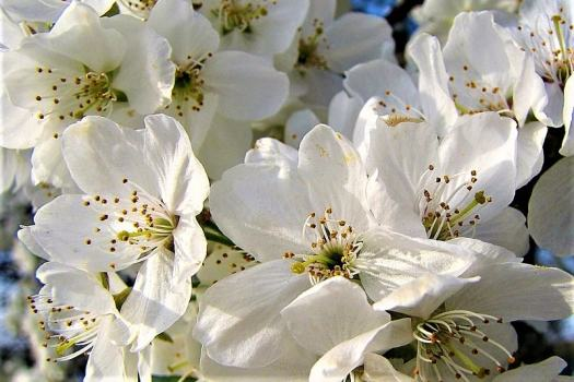 white-cherry-blossoms-in-washington-dc
