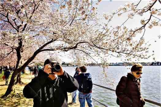 taking-photos-of-cherry-blossoms-at-tidal-basin-in-washington-dc