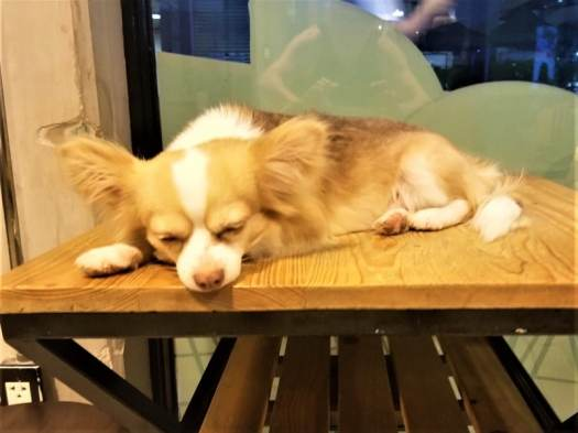pooch-sleeping-on-a-table-at-bangkok-dog-cafe
